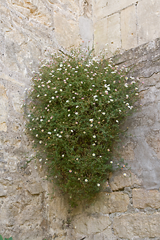 Inspiration form Mexican Flea Bane growing wild 10 foot up a wall with no soil.